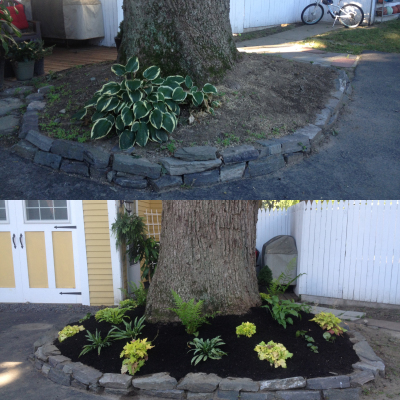 Before and After: A dry shade garden spices up the base of this giant oak tree.